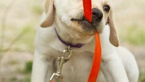 Kako navići psa na povodac?