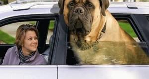 5 koraka za (uspešnu) vožnju psa u automobilu