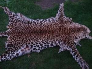 Leopard_slika_L_14836413