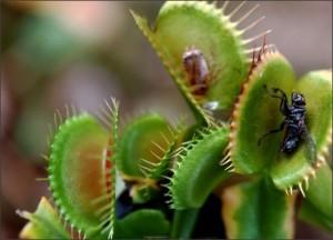 Zderka-mesozderka-muholovka-sadnica-Dionaea-Muscipula_slika_O_33618349