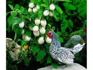 originalslika_Solanum-melongena-Kinder-jaje-102564221