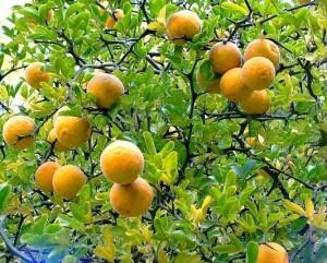 sibirski-limun-podnosi-temperature-25-c-sadnice-slika-33484282